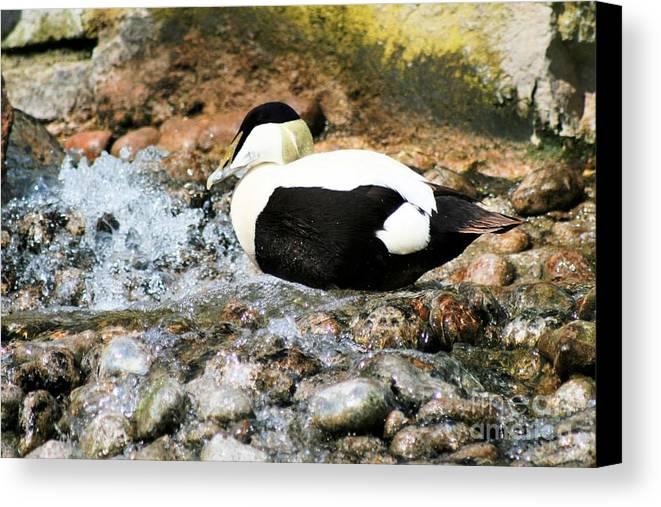 Eider Canvas Print featuring the photograph Eider Duck 2 by Ruth Hallam