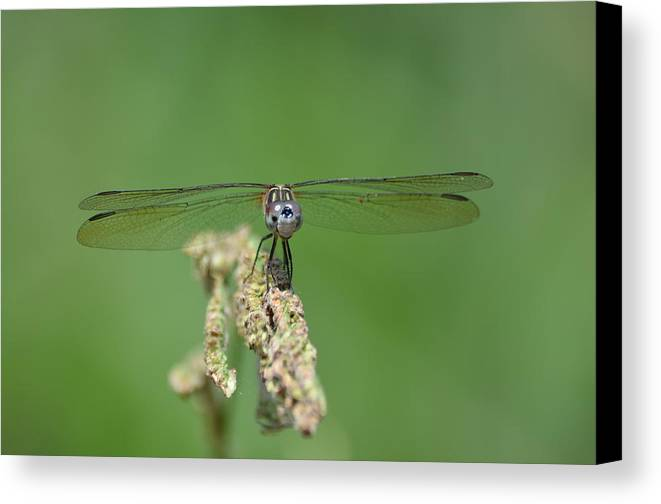 Dragonfly Canvas Print featuring the photograph Enjoying The Ride by Kathy Gibbons