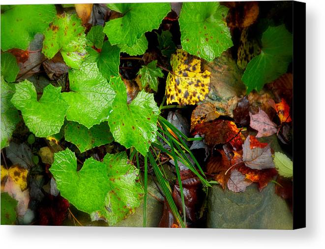 Fall Foliage Canvas Print featuring the photograph Fall Green Leaves 5831  by Ken Brodeur