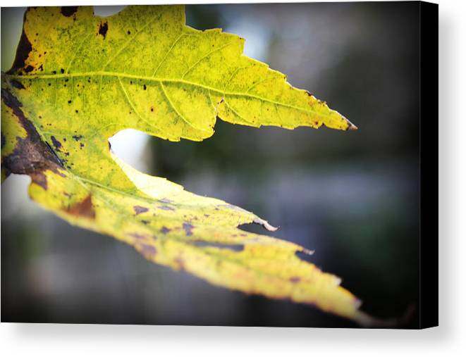 Art Canvas Print featuring the photograph Fall Leaf by Kelly Hazel