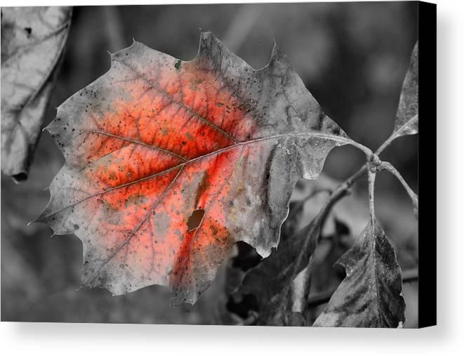 Autumn Canvas Print featuring the photograph Fall Leaf by Rick Rauzi