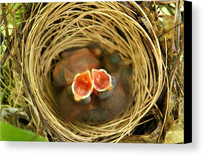 Birds Canvas Print featuring the photograph Feed Me by Jose Rodriguez