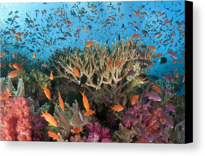 Coral Reef Canvas Print featuring the photograph Fiji Reef Riot by Freund Gloria