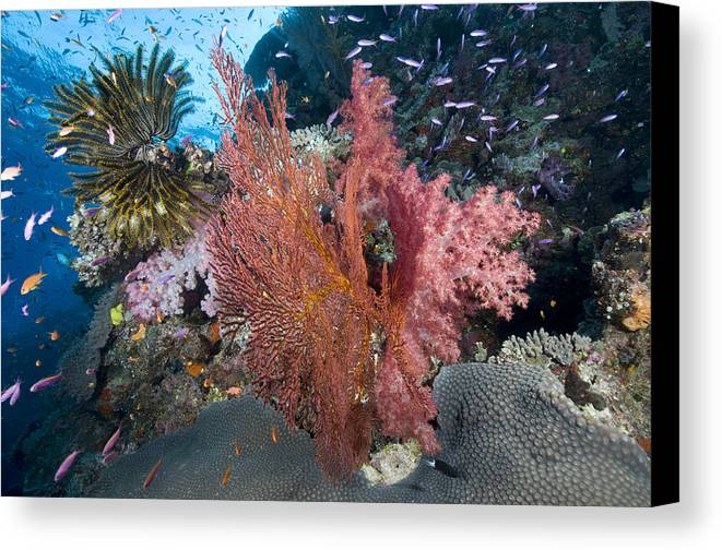 Sealife Canvas Print featuring the photograph Fiji Sea Fan Scenic by Freund Gloria