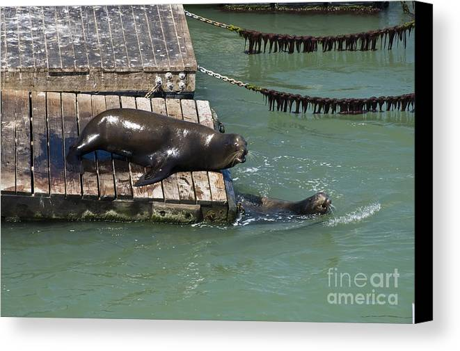 Sea Lion Canvas Print featuring the photograph Fisherman's Wharf Pier 39 Sea Lions by Tim Mulina