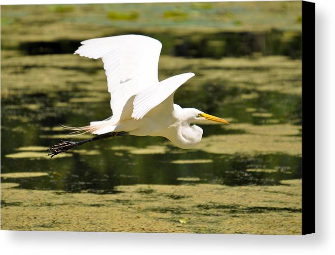 Teresa Blanton Canvas Print featuring the photograph Flight Of The Heron by Teresa Blanton