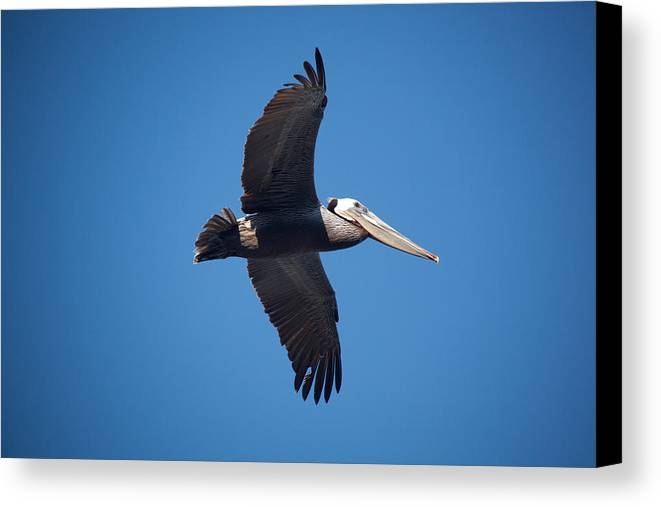 Pelican Canvas Print featuring the photograph flying Pelican by Ralf Kaiser