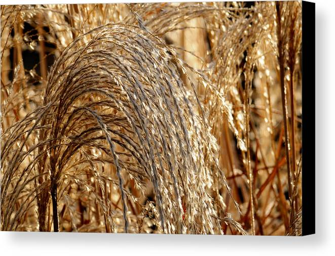 Grass Canvas Print featuring the photograph Frost Laden by Wanda Brandon