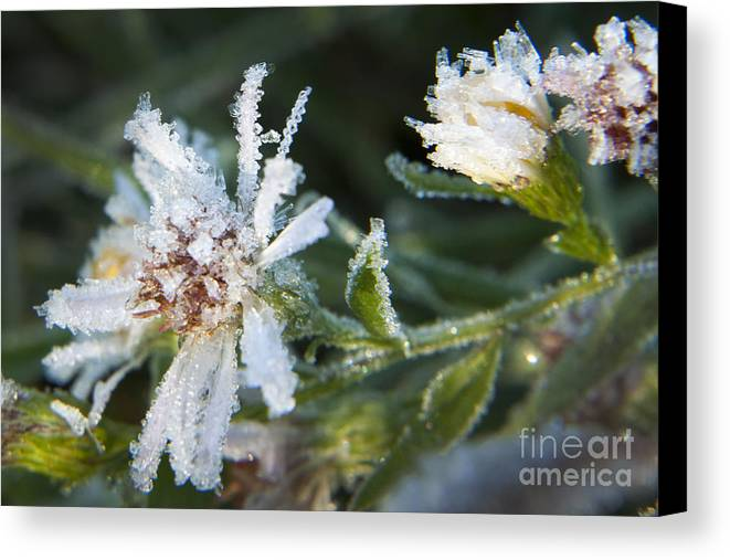 Daisy Canvas Print featuring the photograph Frostbite Flower by Darleen Stry