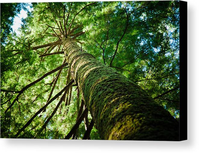 Horizontal Canvas Print featuring the photograph Giant Spruce Tree Canopy by Christopher Kimmel