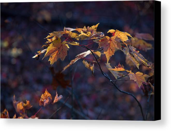 Glowing Canvas Print featuring the photograph Glowing Maple Leaves by Douglas Barnett