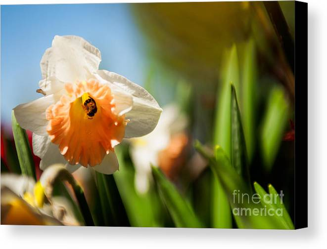 Daffodils Photographs Canvas Print featuring the photograph Golden Daffodils by Venura Herath