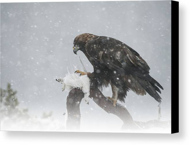 Bird Canvas Print featuring the photograph Golden Eagle by Andy Astbury