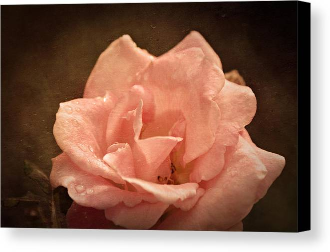 Rose Canvas Print featuring the photograph Grandmas Bloom by Terrie Taylor