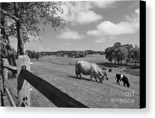 Cattle Canvas Print featuring the photograph Grazing The Day Away by Catherine Reusch Daley