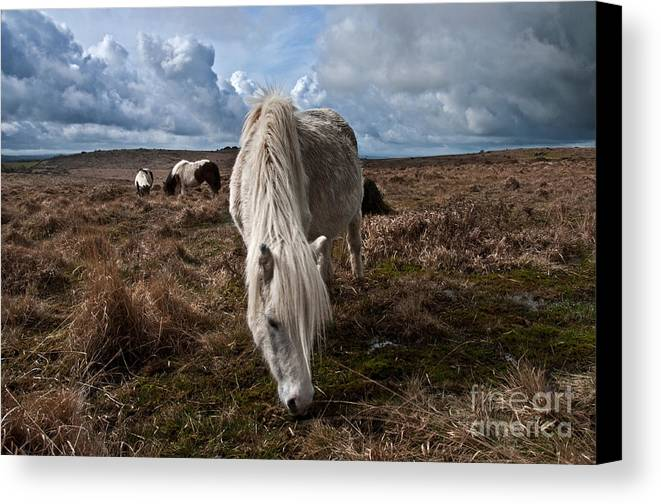 Dartmoor Canvas Print featuring the photograph Grazing The Moor by Rob Hawkins