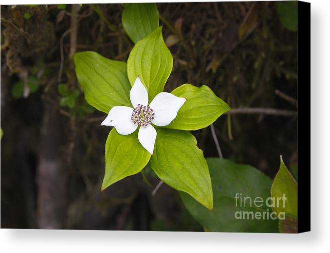 Canvas Print featuring the photograph Ground Flower by Robert Daniells