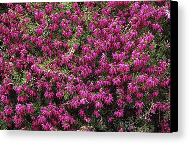 'nathalie' Canvas Print featuring the photograph Heather 'nathalie' Flowers by Adrian Thomas