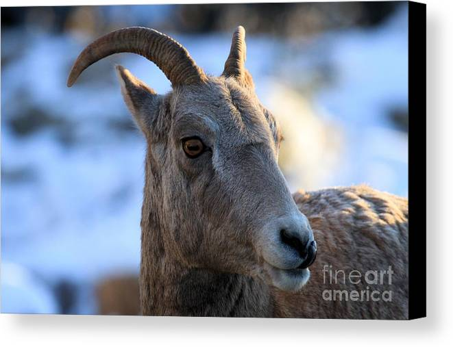 Big Horn Sheep Canvas Print featuring the photograph Hello There by Adam Jewell