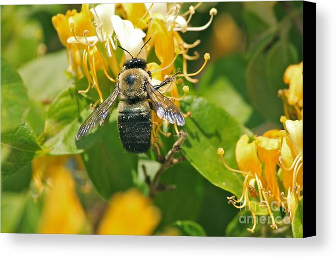 Bee Canvas Print featuring the photograph Honeysuckle Delicacy by Bev Veals
