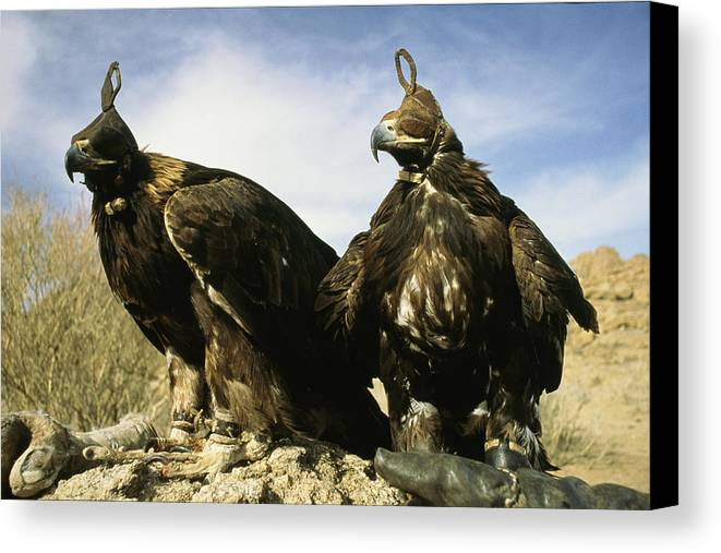 Commonwealth Of Independent States Canvas Print featuring the photograph Hooded Eagles Stand Ready For Hunting by Ed George