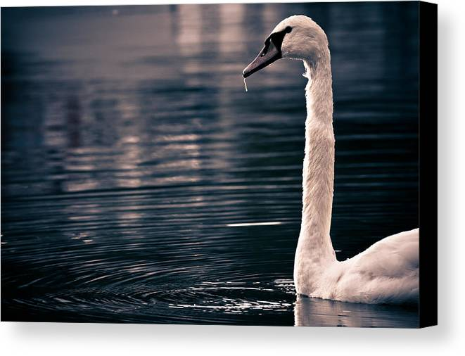 Swan Canvas Print featuring the photograph Hungry Swan by Justin Albrecht