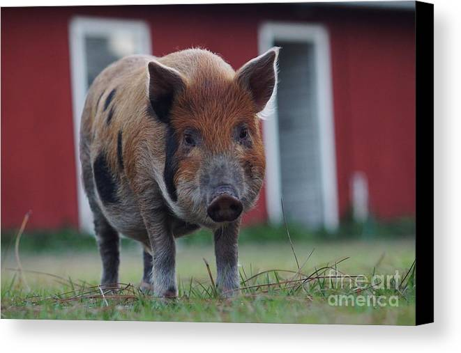 Pig Canvas Print featuring the photograph In Front Of The Red Barn by Lynda Dawson-Youngclaus