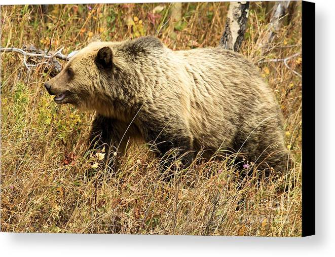 Grizzly Bear Canvas Print featuring the photograph In Stride by Adam Jewell