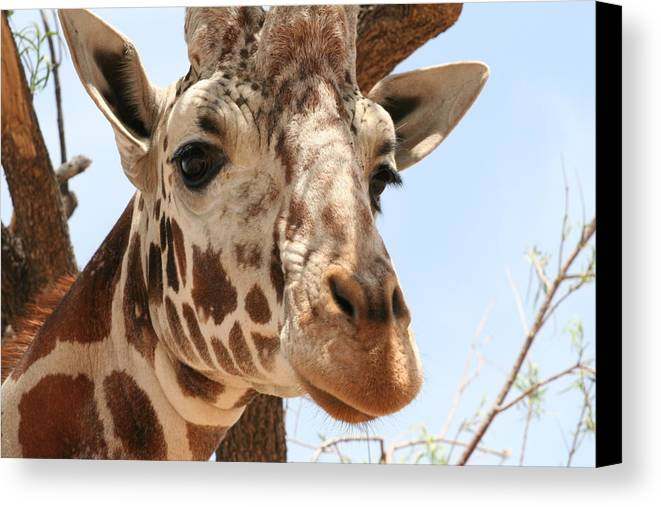 Giraffe Canvas Print featuring the photograph In Your Face by Wendi Curtis
