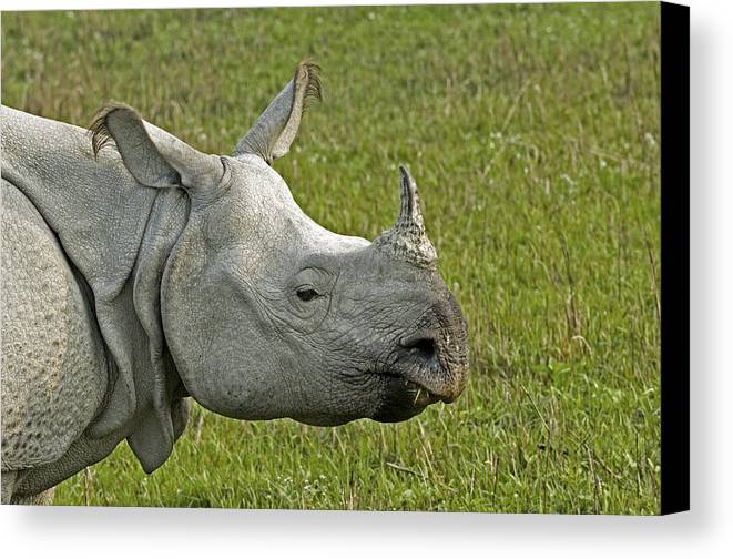 Rhinoceros Unicornis Canvas Print featuring the photograph Indian Rhinoceros by Tony Camacho