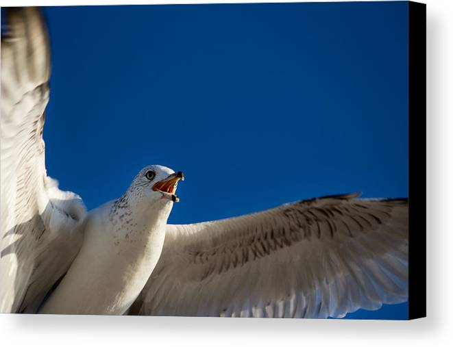 Sea Gull Canvas Print featuring the photograph Insert Food Here by Kittysolo Photography