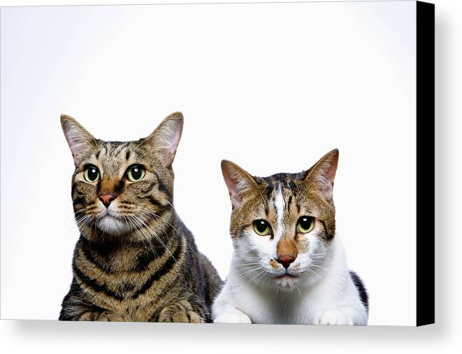 Horizontal Canvas Print featuring the photograph Japanese Cat And Manx Cat On White Background, Close-up by Ultra.f