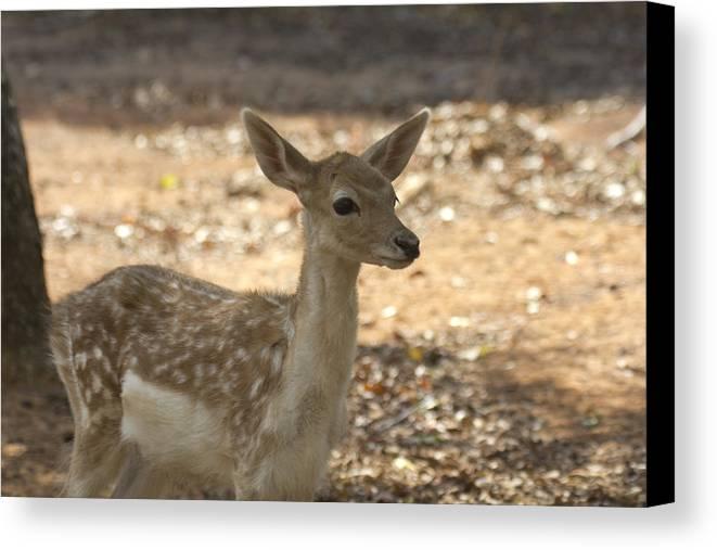 Juvenile Deer Canvas Print featuring the photograph Juvenile Deer by Douglas Barnard