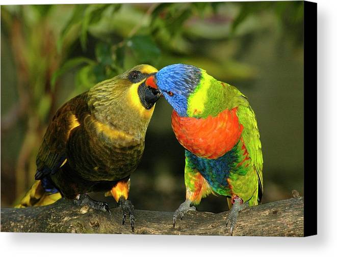Lorikeet Canvas Print featuring the photograph Kissing Birds by Carolyn Marshall