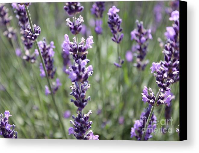 Field Of Lavender Canvas Print featuring the photograph Lavender by Allen Sindlinger