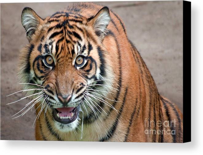 Animal Canvas Print featuring the photograph Line Of Sight by Dan Holm