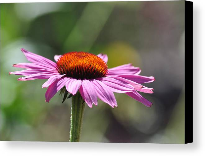 Flower Canvas Print featuring the photograph Lone Flower by David McCarroll