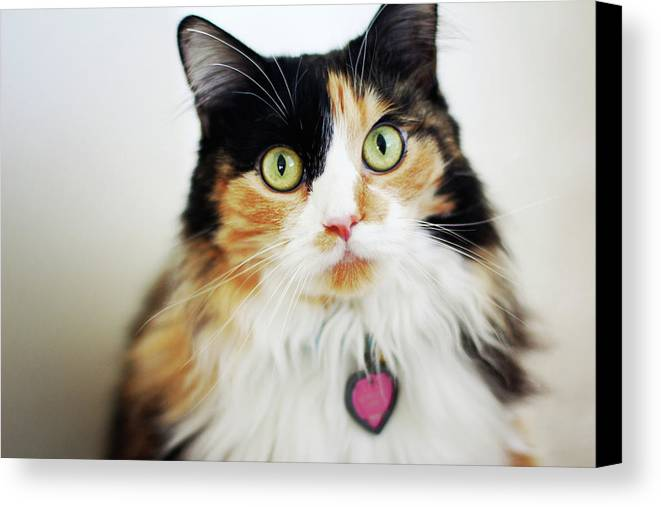 Horizontal Canvas Print featuring the photograph Long Haired Calico Cat by Genevieve Morrison