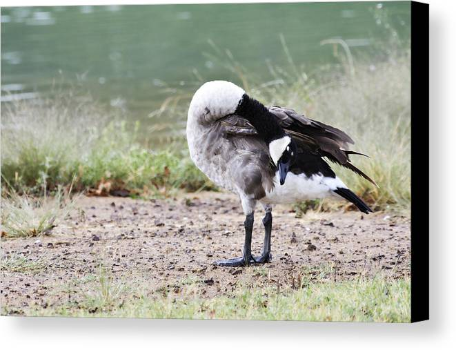 Canadian Goose Canvas Print featuring the photograph Looking Back by Douglas Barnard