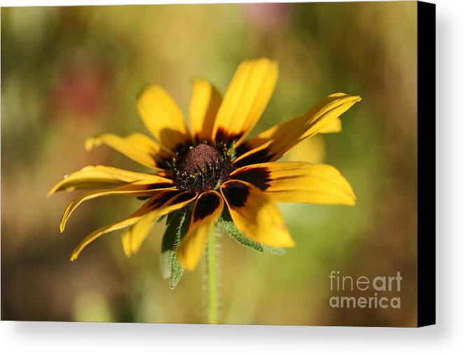 Daisy Canvas Print featuring the photograph Looking For Sun by Szalonaisa Photography