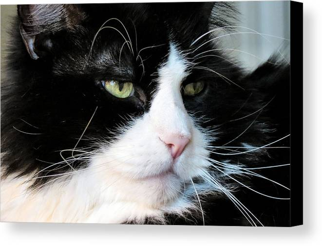 Cat Canvas Print featuring the photograph Maine Coon Face by Art Dingo