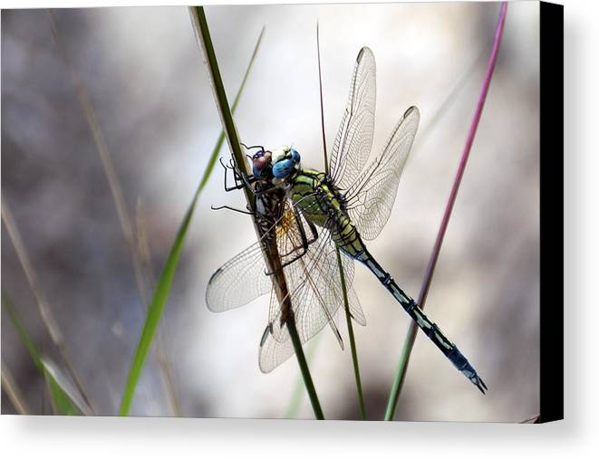 Dragon Fly Canvas Print featuring the photograph Mating Dragonflies by Focus Fotos