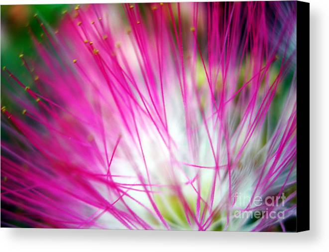 Mimosa Canvas Print featuring the photograph Mimosa Abstract by Judi Bagwell
