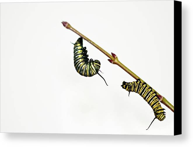 Horizontal Canvas Print featuring the photograph Monarch Caterpillar by Jim McKinley