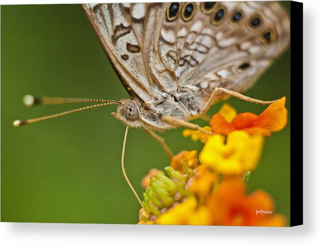 Nature Canvas Print featuring the photograph Moth On Flower Clusters by Lisa Spencer