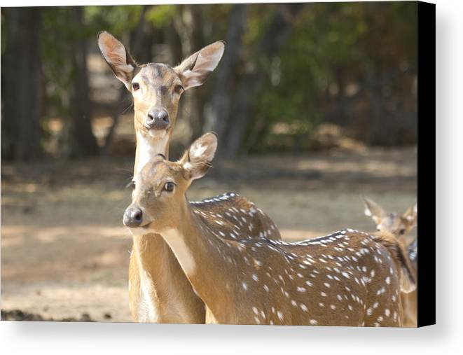 Deer Canvas Print featuring the photograph Mother And Child V3 by Douglas Barnard