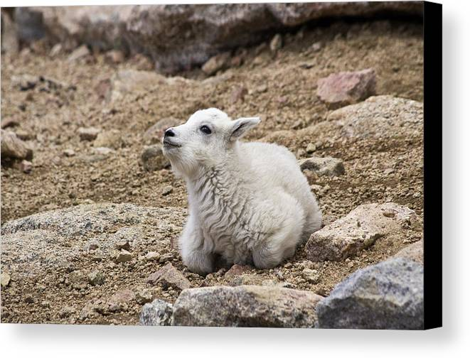 Mt. Evans Canvas Print featuring the photograph Mountain Goat - 1143 by Jerry Owens