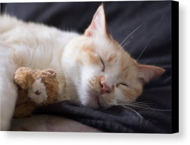 Siamese Canvas Print featuring the photograph Nap Time by Kittysolo Photography