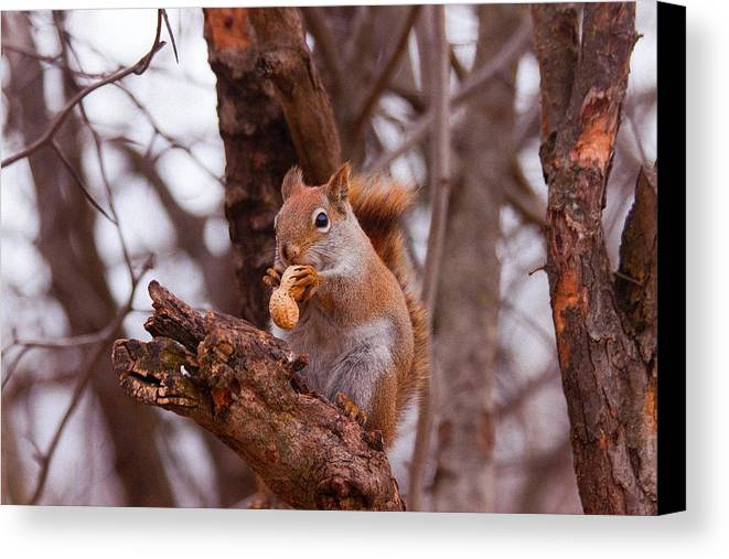 Nut Canvas Print featuring the photograph Nutty Squirrel by Josef Pittner