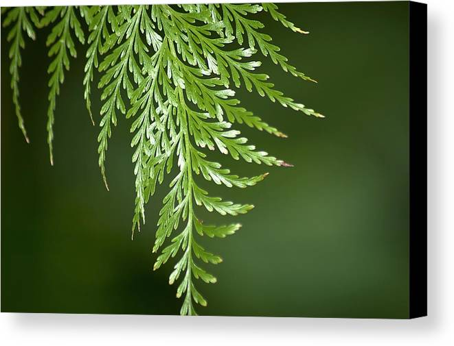 Fern Canvas Print featuring the photograph One Hanging Fern by Carolyn Marshall